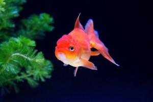 [恋愛心理テスト]金魚の数