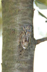 cicada-167754_640